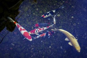 Kohaku Koi we sold to a Las Vegas pond client.