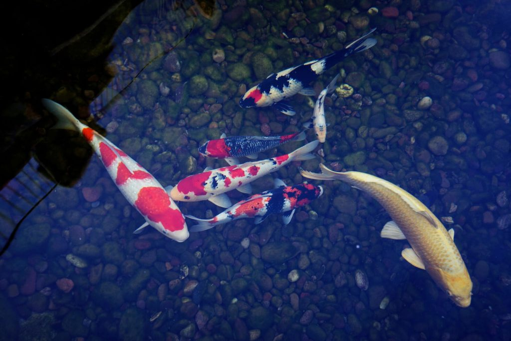 7 koi fish of different sizes and colors for sale at our pond shop.